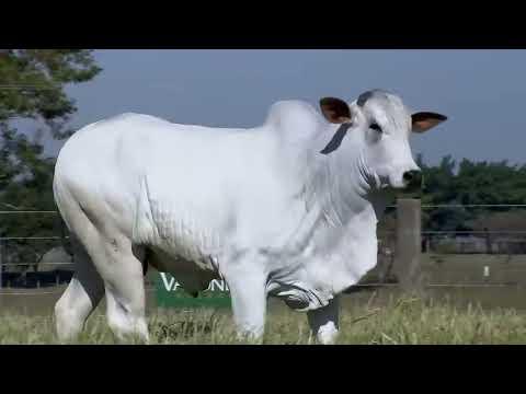 Lote 47   Stock da Valônia   JAA 5839 Copy