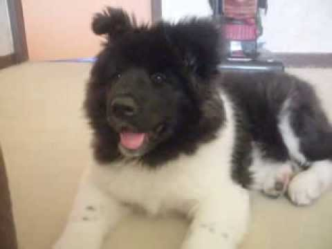Akita Puppy Long Haired Pinto Nikita 13 Weeks Old Youtube