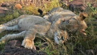 Lion Encounter, Victoria Falls, Zimbabwe