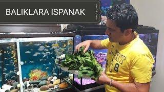 BALIKLARINIZA ISPANAK VERİYOR MUSUNUZ ?, akvaryum balıkları, aquarium fish spinach