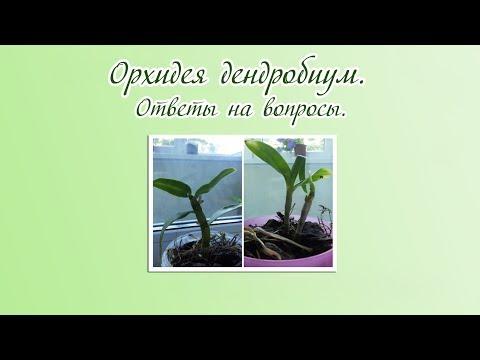 Орхидея дендробиум. Что делать с малышами?