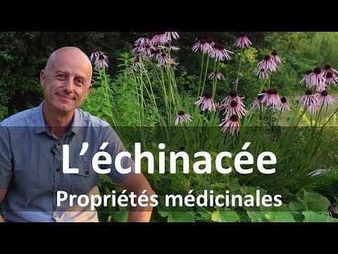 Racine D Astragale : Achat  - Plantes - Bienfaits | Pourquoi faire une cure ?