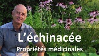 Échinacée : stimulante du système immunitaire