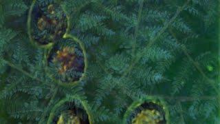 Cor:unedo - Felci II [Lavosensalmi] (OFFICIAL VIDEO)