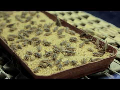 Large-scale cricket flour production Cricket Lab