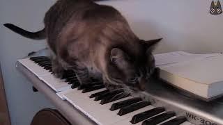 Cats vs Pianos! (A Compilation)