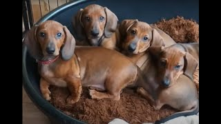 Dachshund puppies growing up | Time lapse