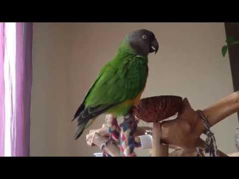 Senegal Parrot Sounds