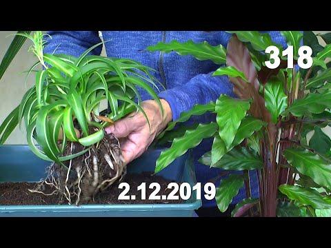 Grünlilie umpflanzen. Murdannia einpflanzen und mehr bei den Zimmerpflanzen im Bad