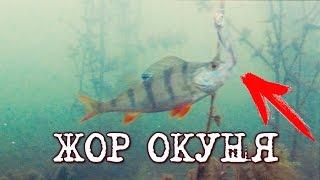 ЖОР ОКУНЯ! Бешеный клев окуня на жерлицы! Сумасшедшая рыбалка(ЖОР ОКУНЯ! Бешеный клев окуня на жерлицы! Сумасшедшая рыбалка. Поклевки окуня на живца. Подводный мир водоём..., 2016-12-11T15:39:51.000Z)
