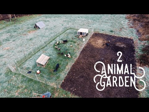 How 2 Pigs + 30 Chickens Prepped my Garden