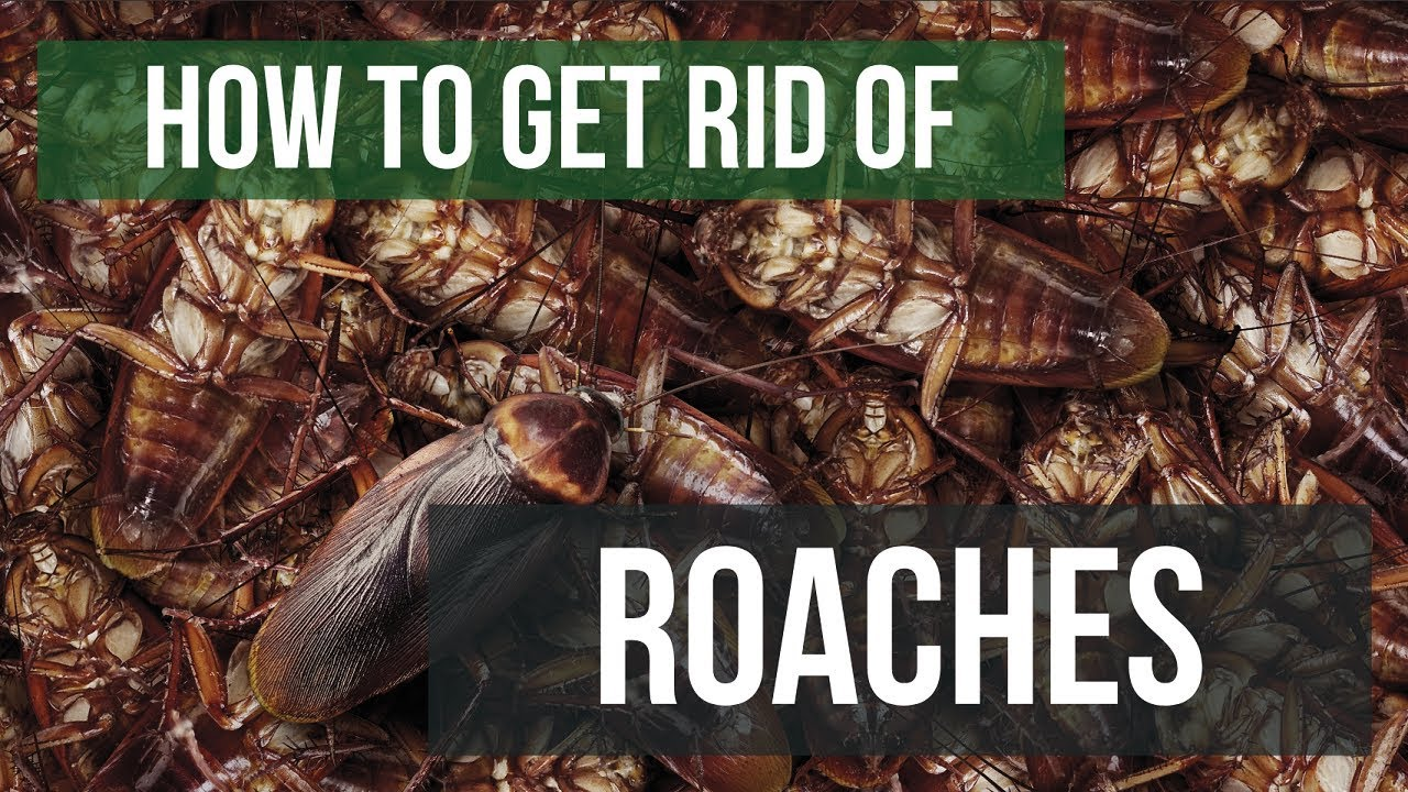 How To Get Rid of Cockroaches Guaranteed- 4 Easy Steps