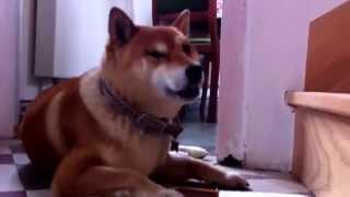 柴犬拉奇—吃東西很有個性不能拍照 thumbnail