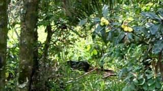 Porco do mato em seu habitat natural - Lagoa - Telêmaco Borba - PR