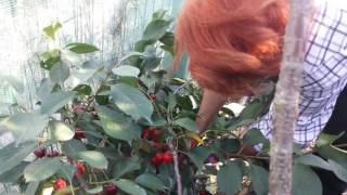 Harvesting Morello Cherry, From Small Dwarf Fruit Tree in Allotment