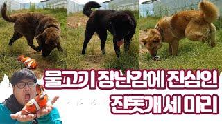 물고기 장난감에 진심인 진돗개 세 마리, Korean …