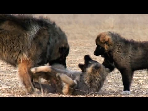 Georgian Caucasian Shepherd | Kavkasiuri nagazi | Кавказская овчарка
