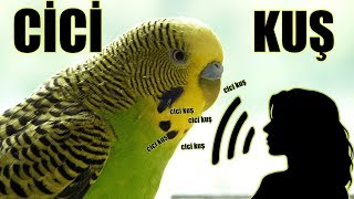 MUhabbet Kuşu CİCİ KUŞ Kadın sesi Dinlet