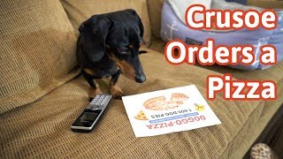 crusoe-orders-a-pizza-cute-dog-video-caught-on-furbo