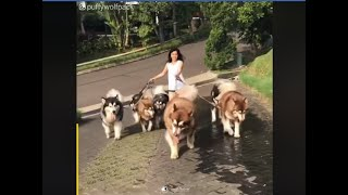 husky family Of 13 Giant alaskan malamuteshusky 2020