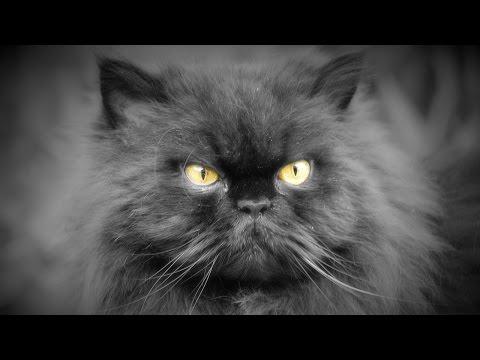 Все о породе персидская кошка за 3 минуты