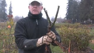 Planting A Bare Root Rose for Maximum Bloom.