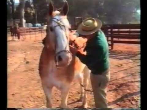 Ensillado de un caballo criollo.mpg