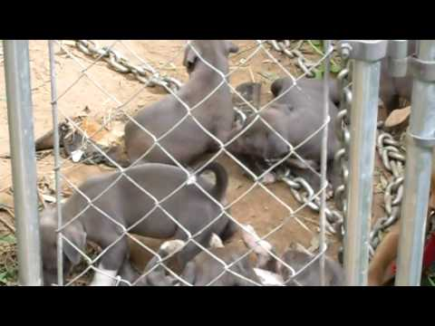 Blue Pitbull Puppies For Sale $200:(404)552-6423
