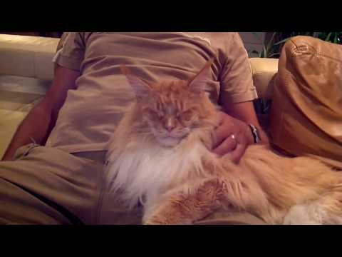 Big Maine Coon cat in love with his best friend