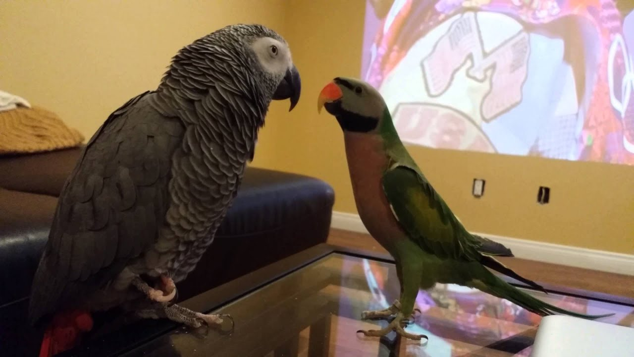 PAROT TALK, MY FLOCK: Parrot Friends: My African Grey and Mustache Parakeet  Picasso kissing:)