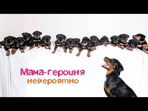 Собака из Британии родила огромное количество щенков (мама-героиня)