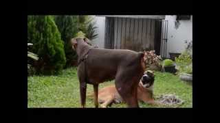 Pitbull Vs Doberman