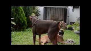 ROTTWEILER VS GREAT DANE!!! BEAST VS BEAST - ViYoutube