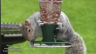 Many Beautiful Squirrels In My Garden