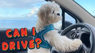 MALTESE PUPPY TRAVELS AND MAKES FRIENDS