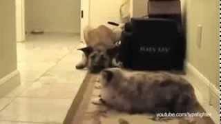 Приколы! Ты не пройдёшь собака )) Доминирующие коты! 2014 Funny Cats vs Dogs Compilation