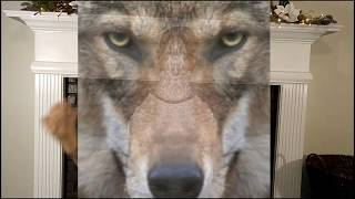 Sheep_Wolves_&Sheepdogs
