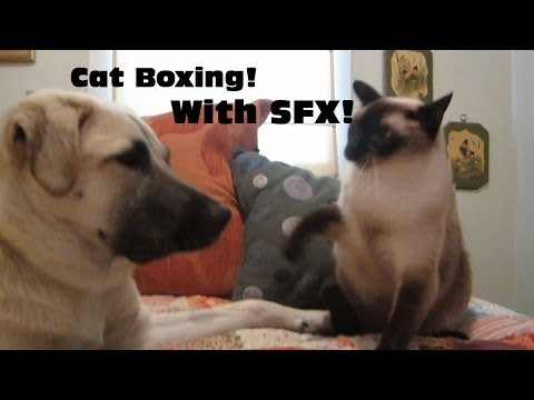 Cat boxing dog. Who wins? (WITH SOUND FX!) (Skit It's A Random Life)