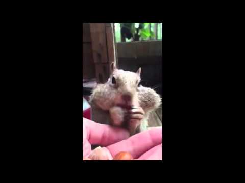 Squirrel Fills his Cheeks with Chestnuts