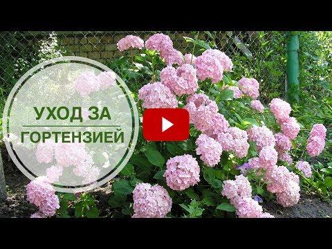 Гортензия уход 🌺 Цветы в саду как правильно выращивать?