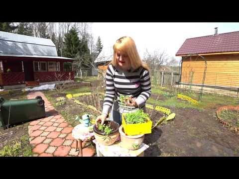Как посадить лобелию в кашпо видео