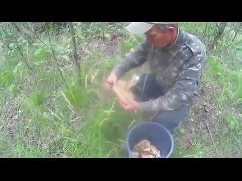 Собираем грибы попадает много попорчены червями  Picking mushrooms gets a lot spoiled by worms