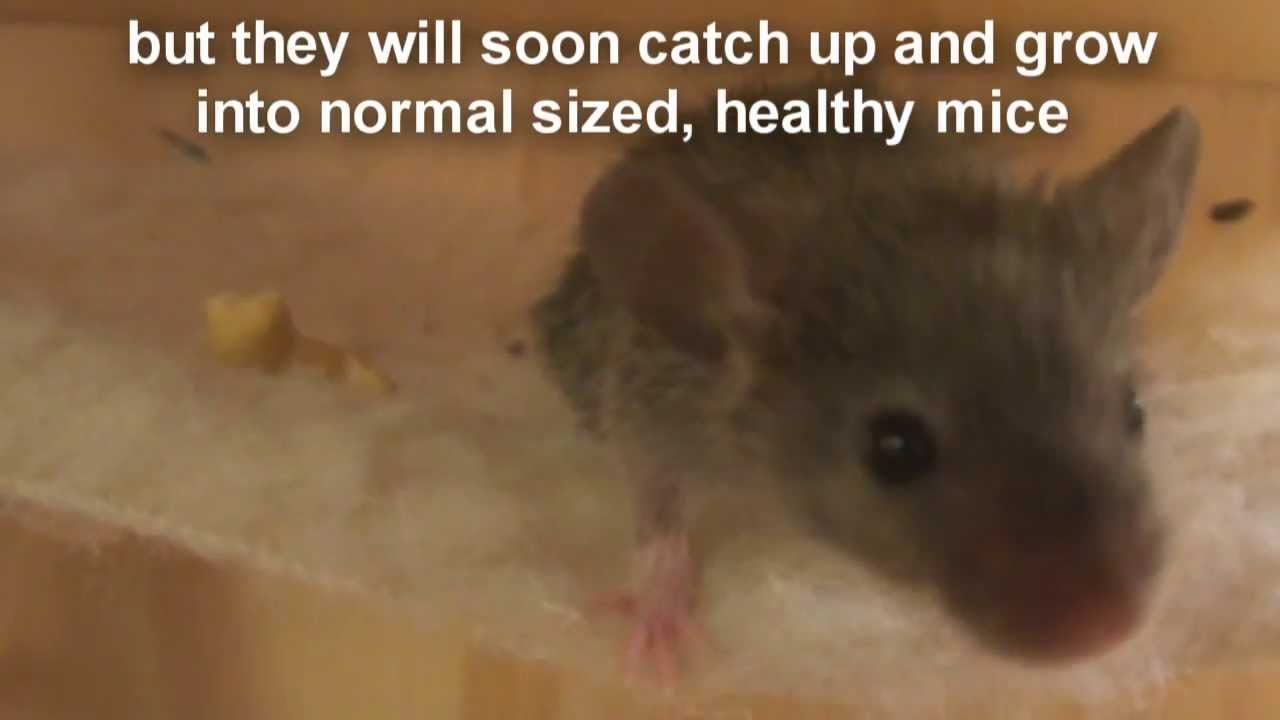Raising A Baby Mouse 7 10 Not Eating Scruffy Stage Bathing