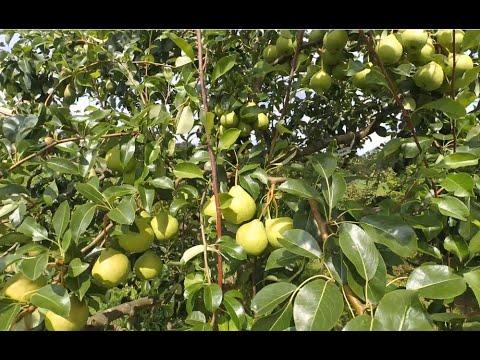 Августовская роса - удивительно урожайный сорт груши летнего созревания..