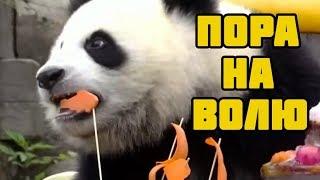 В Китае трех панд готовят к жизни в дикой природе