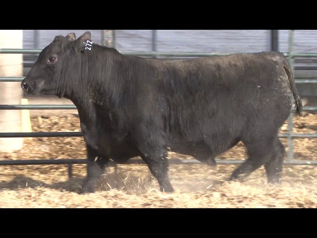 Schiefelbein Angus Farms Lot 272