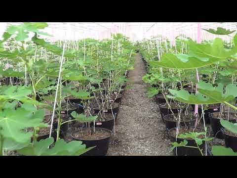 Figs farm in Thailand(1)
