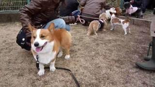 Goro@welsh Corgi 20090222 Jack Russell Terrier