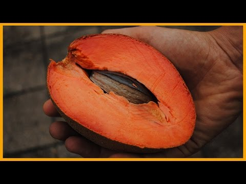 MAMEY SAPOTE: THE SWEETPOTATO PUMPKIN PIE FRUIT | KNOW YOUR FRUITS