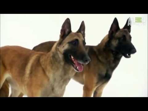 761b175dfbcb Pet4you.gr  Dogs Belgian Malinois - Βελγικός Ποιμενικός Μαλινουά ...